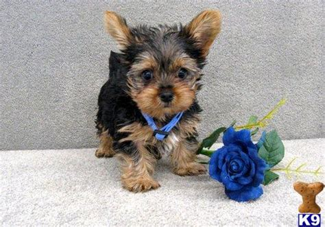 are teacup yorkies hypoallergenic are pomsky puppies hypoallergenic breeds picture