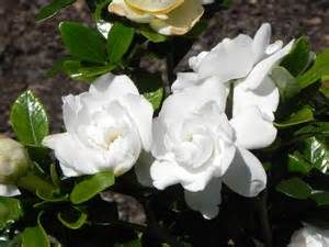 gardenia flowers gardenia flower nature photo gallery