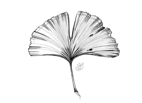 coloring pages ginkgo tree ginkgo leaf coloring page coloring pages