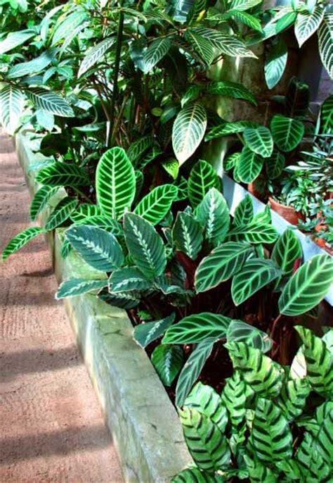 calathea peacock plant zebra plant rattlesnake plant guide  house plants