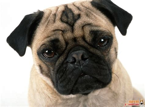 a picture of a pug beautiful pug pugs photo 13728108 fanpop