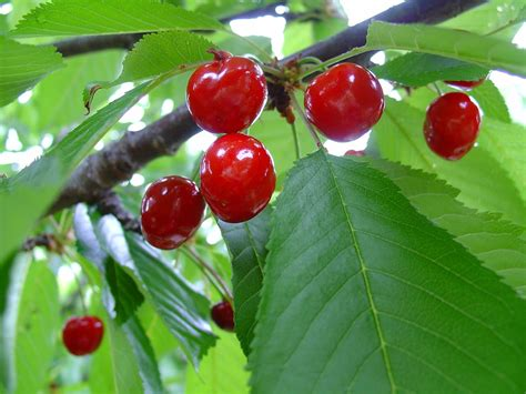 with cherry cherry tree with cherries www pixshark com images
