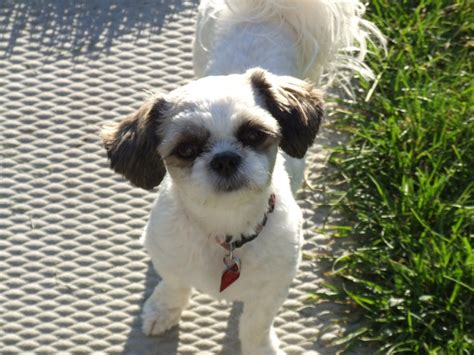 shichon haircuts 16 best shih tzu hair cuts images on pinterest