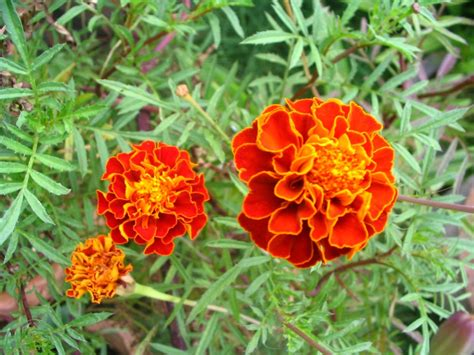 Marigold Flower Garden Chennai Garden Flowers Marigold Flower