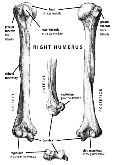 anatomy of a bone coloring anatomy coloring pages bones search radiography
