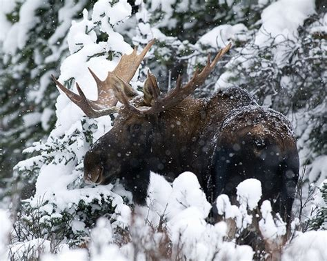 Bull Moose Also Search For Winter Bull Moose Canada
