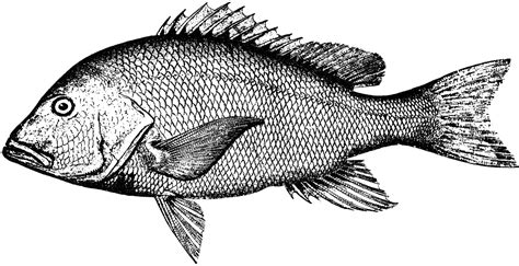 red snapper clipart