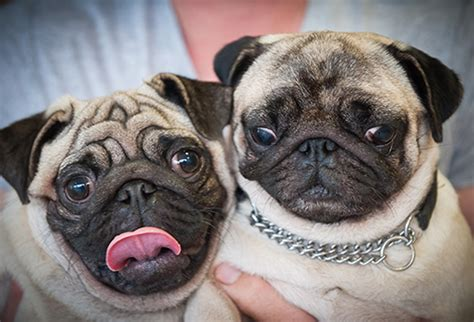 two pugs the royal veterinary college hosts its pug tea press office news and