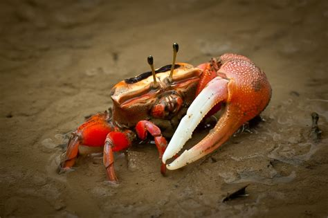 Ideas For Bathroom Decor by Keeping Fiddler Crabs As Pets Pet Fiddler Crabs