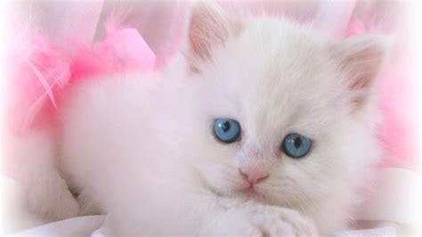 lovely white lovely white cat wallpaper 1366x768 13745