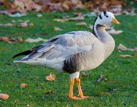 file bar headed goose st james s park london nov 2006