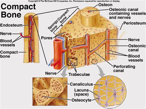 compact bone diagram anatomy physiology and pathophysiology
