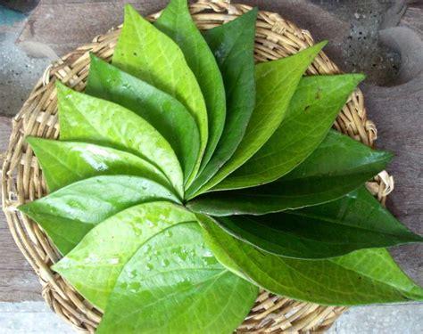 wallpaper daun hitam manfaat daun sirih untuk pengobatan dan kecantikan