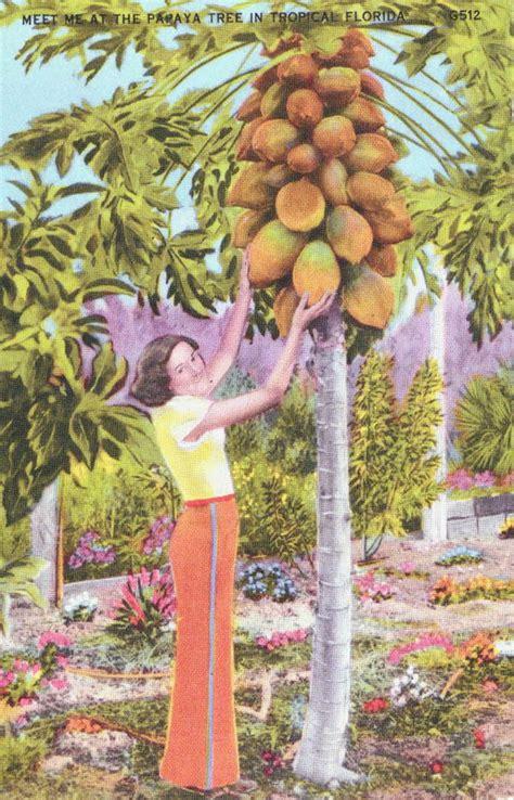 envyme papaya series florida memory meet me at the papaya tree in tropical