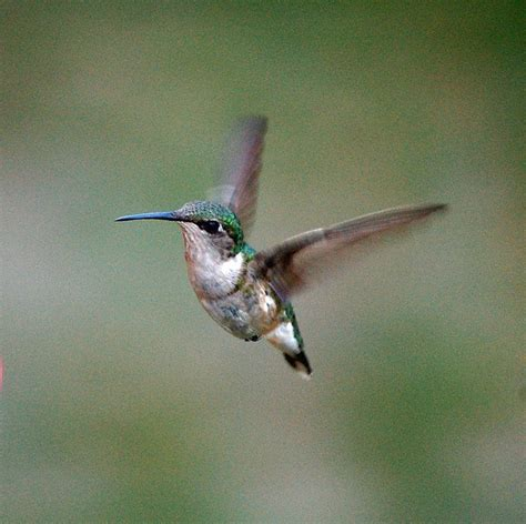 17 best images about humming birds on pinterest the fly