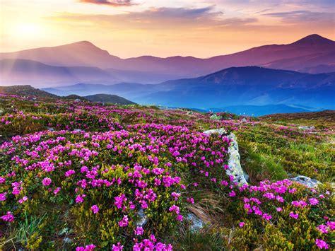 nature landscape beautiful mountain flowers  purple