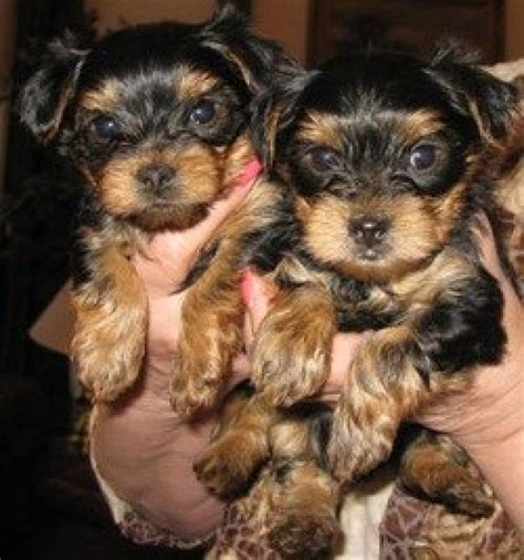 Teacup Yorkie Puppies For Sale Dogs Puppies California Free