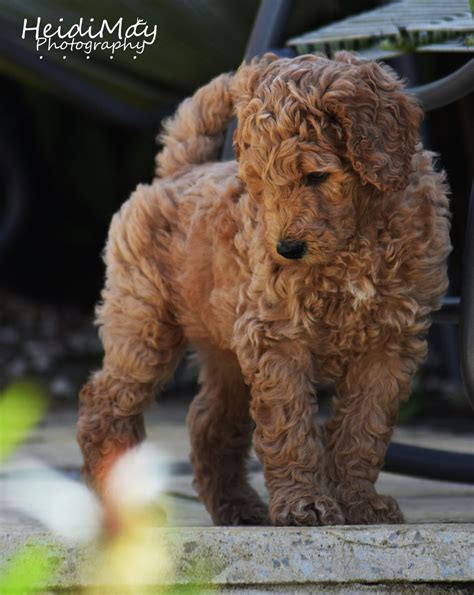 puppy labradoodles for sale in uk labradoodle puppies for sale bristol bristol pets4homes