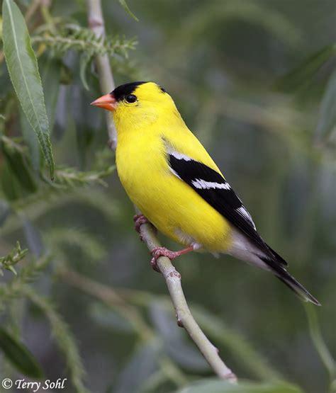 american goldfinch south dakota birds and birding