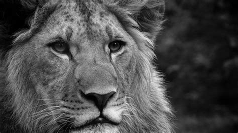 full hd wallpapers 1920x1080 lion lion full hd wallpaper and background 1920x1080 id 399926