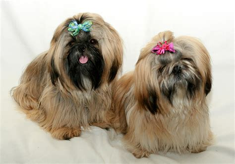 hair dogs dogs pictures images photos