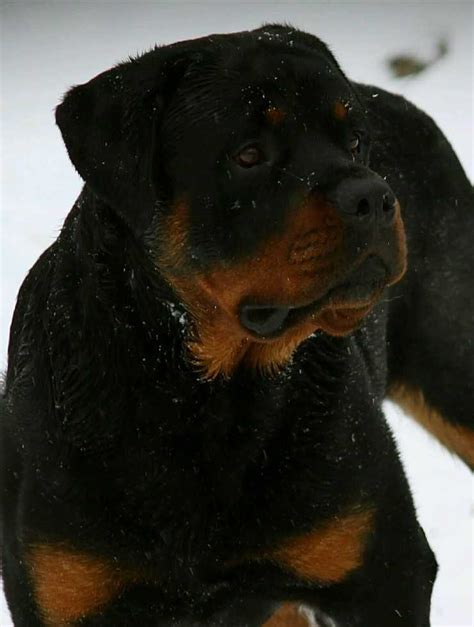 rottweiler for sale in ohio miniature rottweiler for sale in ohio photo