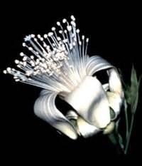 boab fiore australiano boab repertorio australiano bush fiori per l anima