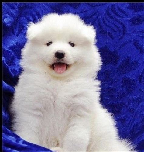samoyed puppies for adoption samoyed puppies for sale for sale adoption in singapore
