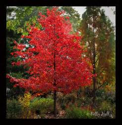 nyssa sylvatica black gum tree with brilliant red leaves i want one since it has really