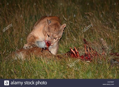 reset nvram mountain lion puma mountain lion cougar puma concolor profelis