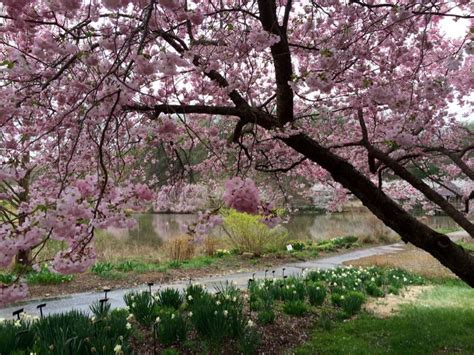 Cherry Blossoms 2016 In Dc Maryland And Virginia Botanical Garden Cherry Blossom