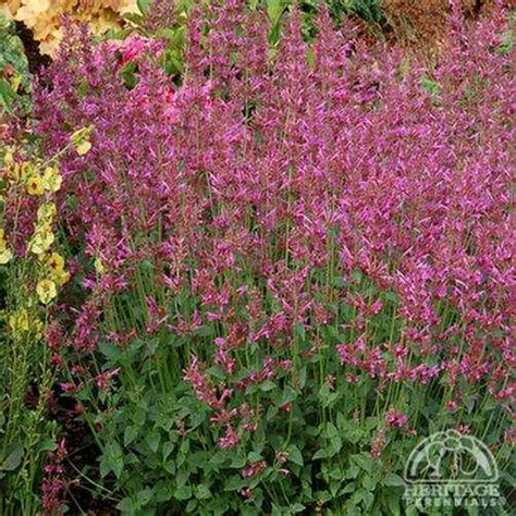 plant profile for agastache summer love hummingbird mint perennial