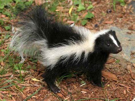 skunk spray the smelliest creatures in the animal kingdom