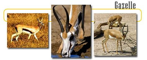 gazelle info  games