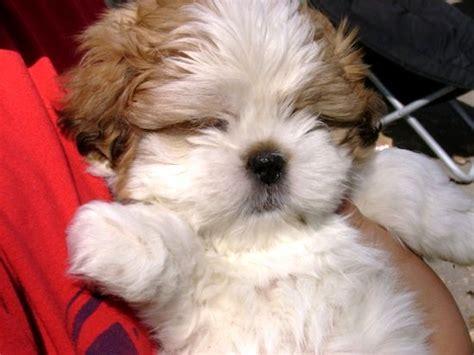 cutest shih tzu shih tzu puppies photo happy heaven