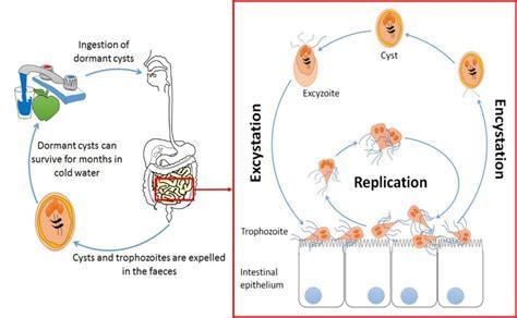 bug host axis terbaru 2018 giardiasis from proteomics to pathogenesis bugbitten