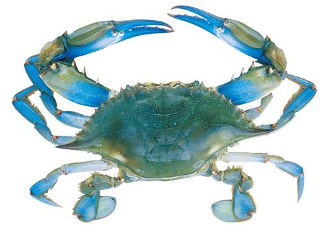 blue crab pictures blue crab anatomy guide crafts