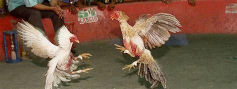 gallero soy videos de gallos de pelea en vivo fotos de gallero soy videos de gallos de pelea en vivo fotos de