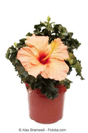hibiskus zimmerpflanze kaufen zimmerhibiskus hibiskus rosa sinensis pflege als