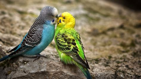 images of love birds hd cute little love couple pictures hd free download pixhome