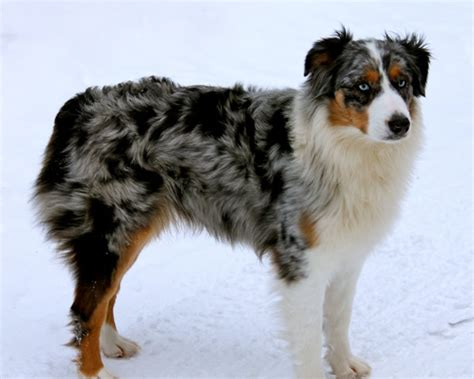 australian shepherd colors australian shepherd tri color www pixshark images