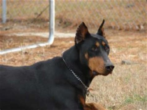 doberman puppies for sale indiana miniature doberman pinscher puppies for sale in nc breeds picture