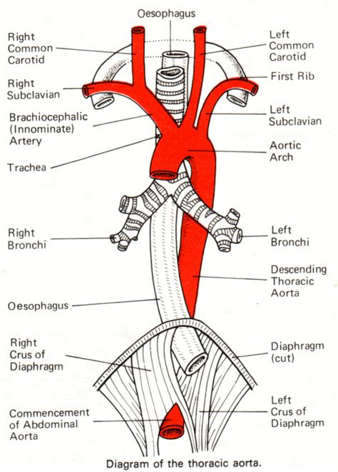 diagram of the aorta pictures info aorta
