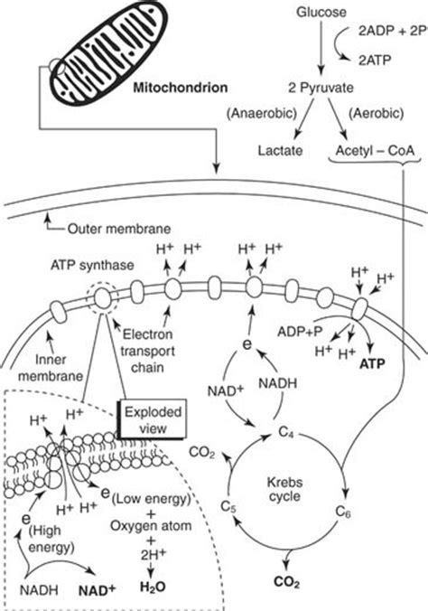 Cellular Respiration Worksheet by Free Coloring Pages Of Cellular Respiration