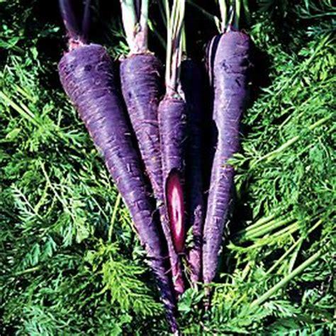 original color of carrots buy carrot purple aka purple f1 daucus