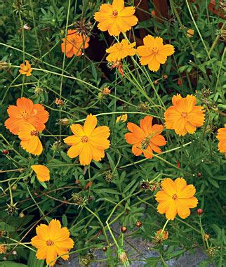 Benih Bunga Cosmos Bright Lights Mix Orange And Yellow Flower 1 bright lights mixed colors cosmos seeds and plants annual flower garden at burpee
