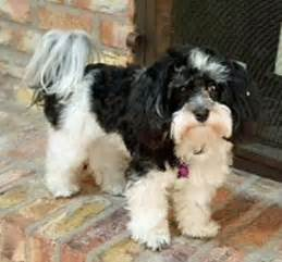 havanese rescue wisconsin 521 best images about adoptable dogs mostly havanese on adoption kern