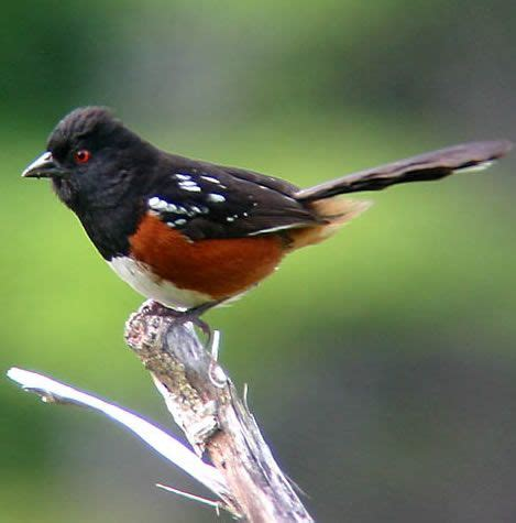 467 best images about american song birds on pinterest