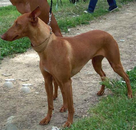 italian dogs top ten italian breeds italy magazine