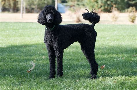 poodle lifespan in human years poodle